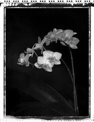 orchidées (JJ_REY) Tags: orchidées orchids fleurs flowers bw noiretblanc polaroid expired t55 4x5 largeformat toyofield 45a rodenstocksironarn 150mmf56 negatif negative epson v800 silverfast8studio colmar alsace france