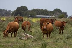 El campo argentino (Ce Rey) Tags: argentina campo ganado vacas provinciadebuenosaires cows animal cattle livestock pasture canoneos80d ganadovacuno vaca