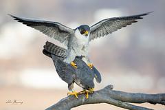 Peregrine Falcons (johnbacaring) Tags: nature wildlife raptor mating falcon peregrine peregrinefalcon canon canonphotography