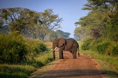 Right of Way (Rod Waddington) Tags: africa african afrika afrique uganda ugandan elephant juvenile road queen elizabeth national park trees wild animal nature wildlife