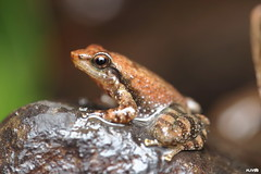 Northern Dancing Frog (harshithjv) Tags: frog dancingfrog torrentfrog torrent northerndancingfrog amphibian anurans micrixalus uttaraghati amphibia anura micrixalidae canon 80d tamron macro 90mm amboli godox