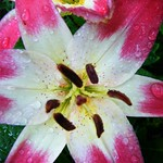 Lily with Water Drops thumbnail