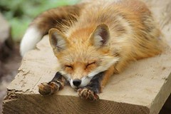 @everythingfox September 16 2018 at 08:02AM (hellfireassault) Tags: foxes everythingfox september 16 2018 0802am fantasticfoxes november 18 0448am