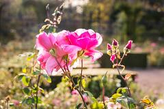 Pink (Maria Eklind) Tags: garden autumn october gothenburg göteborg trädgårdsföreningen sweden rose bokeh flower höst city västragötalandslän sverige se