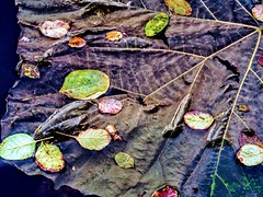 Large and Small Leaves (pmorris73) Tags: arboretum pennstateuniversity statecollege pennsylvania century 2cee 3cee 4cee 5cee 6cee 7ca1819 8cc0219
