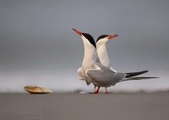 Common Terns (T L Sepkovic) Tags: commonterns terns shorebirds beach shell seascape wildlife wildlifephotography canon teamcanon 5dmkiv shore newjerseybirds