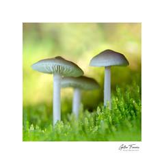 Chatting (g.femenias) Tags: mushrooms fungi moss nature naturallight sunlight group macro macrophotography pedreres bonany petra mallorca