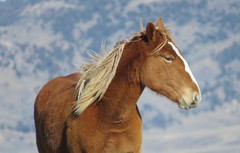 Happy New Year (prairiegirrl) Tags: wildhorses wildlife mustangs horse equine mare prairie publicland reddesert wyoming