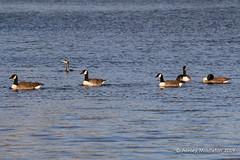 IMG_0314547 (Ashley Middleton Photography) Tags: coatewatercountrypark swindon animal bird canadagoose england europe goosegeese unitedkingdom wiltshire