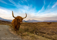 Highland Cow (Doggy Style Photography) Tags: scotland highland cow highlandcow horns mountains highlands scenic nature wildlife landscape