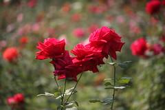 Beautyful Red Rose at Garden (arif.bsl14) Tags: flower flowers rose roseflower blooming bud bloom natural nature macro closup