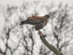 Buzzard (Simply Sharon !) Tags: buzzard birdofprey bird wildlife britishwildlife nature preditor carnivour january