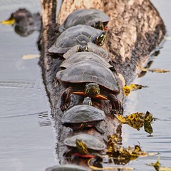 Which Way Are We Going? (chauvin.bill) Tags: htt turtletuesday paintedturtles strickerspond tamron