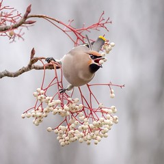 Waxwing (Chris Willis 10) Tags: birds waxwings bird nature animal branch wildlife beak closeup small white tree feather flower twig outdoors beautyinnature cute backgrounds season flowerhead berries