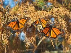 Monarch Festival (MJRodock) Tags: monarch butterfly orange cedar lepidoptera olympus em1 mzuiko 40150mm f28