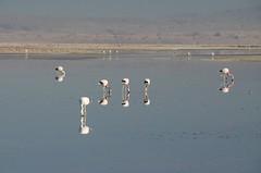 2017-11-09_0730_DSC_0672 (becklectic) Tags: 2017 atacamadesert atacamasaltflat birds chile flamingoes lagunachaxa lake piedrasrojastour regióndeantofagasta reservanacionallosflamencos salardeatacama sanpedrodeatacama flamingo flamingos