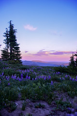 Summerland Dreamscape (haleywillner) Tags: lupine flowers sunset dusk oregon mthood mthoodnationalforest july nature trees timberline sky pink blue purple wilderness explore outdoors hike nationalforest