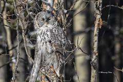 Young Great Gray owlet (Canon Queen Rocks (2,342,500 + views)) Tags: birds branches bird birdsofprey birdofprey wildlife wild wings feathers owls greatgreyowl juvenile young eyes nature naturephotography