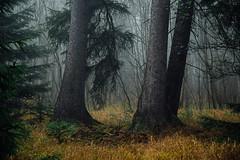 Stramme Giganten (Gruenewiese86) Tags: harz herbst landschaft nebel wald natur wälder woodland atmosphäre geisterhaft beängstigend dunkel geheimnisvoll halloween hintergrund baum bäume holz abenddämmerung düster fantasy funke funken schatten licht verzaubert surreal neblig nacht dunkelheit partikel magie magisch unterholz mischwald morgengrauen umwelt ökosystem forst nebelbildung angst ängstlich bergwald urwald himmel berg im foto germany landstrase gras