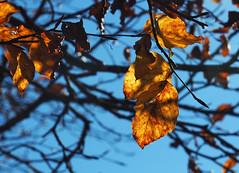 Luce d'autunno - Autumn light (Ola55) Tags: ola55 italy umbria italians parcodelmontecucco rami branches albero tree foglie leaves cielo sky blue blu giallo yellow autunno autumn