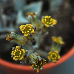 Lenophyllum guttatum