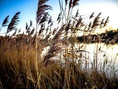 Blowin' in the wind (Daniel_Hache) Tags: wind ble sunset vent soleil etangduperray coucher etang yvelines leperrayenyvelines france fr