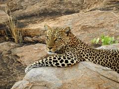 Leopard Rest Stop by Nina (alpenglowtravelers) Tags: africa safari kenya samburu