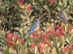 Bluebirds on Christmas Berry (Talley1144) Tags: bluebird ptpinole christmasberry toyon