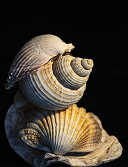 Sometimes life can get on top of you - HMM! (Jo Evans1- trying to catch up - again!) Tags: macromondays theme balance oyster shell whelk clam life getting top