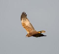 Rainham 12.12.18 Marsh Harrier