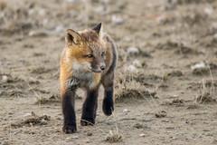 Black Socks and Toenails (Dan King Alaskan Photography) Tags: redfox fox kit vulpesvulpes northslope alaska protectwildlife canon80d sigma150600mm