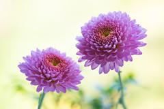 chrysanthemum 6721 (junjiaoyama) Tags: japan flower plant chrysanthemum mum pink winter macro bokeh