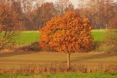 Herbst (ISOZPHOTO) Tags: herbst autumn rheinland broich jülich colorful isoz isozphoto olympus zuikō omd em5 40150 superb gorgeous dslm spiegellos mirrorless m43 micro43 microfourthirds mft oly nordrheinwestfalen nrw colors farben herbstfärbung autumnal tree baum nature natura natur outside