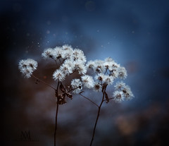 winter bouquet (marianna armata) Tags: winter flower bouquet bunch dry snow bokeh macro weeds dark night marianna armata