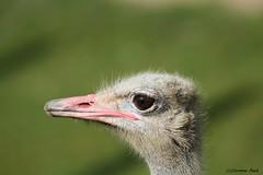 Autruche (Passion Animaux & Photos) Tags: autruche struthio zoo amneville france