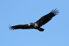 Haliaeetus leucocephalus (Bald Eagle) - Nisqually, WA (Nick Dean1) Tags: haliaeetusleucocephalus baldeagle eagle animalia chordata aves nisqually falconiformes