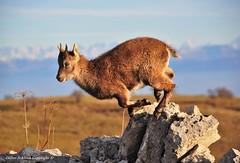Bouquetin des Alpes (Capra ibex)  (38) (Didier Schürch) Tags: nature mur pierre animal mammifère bouquetin