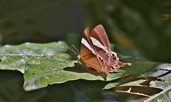 Tailed Judy - Archigenes (Abisara) neophron (jaytee27) Tags: thailand tailedjudy archigenesabisaraneophron nature naturethroughthelens