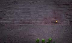 Weeds (Darren LoPrinzi) Tags: 5d canon5d philadelphia philly urban canon city miii urbanexploration streetphotography weeds dandelion minimal minimalism minimalist nature wall texture purple green