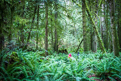 Amongst the  Fern Giants (Los Paseos) Tags: sunshinecoast britishcolumbia moss forest hike