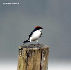 DSCN5165 Wire-tailed Swallow (Hirundo smithii) (vlupadya) Tags: greatnature animal aves fauna indianbirds wiretailed swallow hirundo kundapura