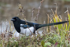 Magpie ~ Pica pica (Fizzog2) Tags: brandonmarsh uk bird magpie picapica corvidae