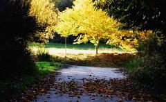Harvesting autumn light/ Cosechando luz de otoño (PURIFM) Tags: ngc autumn leaves nature yellow landscape otoño hojas amarillo nikon tree arboles trees galicia castañas