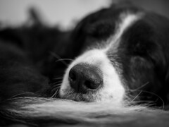 Asleep (Captain192) Tags: dog dogs collie spaniel bordercollie spanielcolliecross sprollie asleep nose depthoffield tail sleeping bw