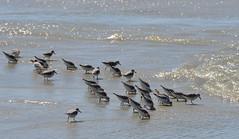 Poking in the sand (afagen) Tags: california pacificgrove montereypeninsula asilomar beach pacificocean ocean asilomarstatemarinereserve bird