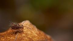 springtail: Dicyrtomina saundersi (David_W_1971) Tags: collembola dicyrtomina raynox msn202
