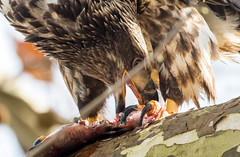 7K8A3325 (rpealit) Tags: scenery wildlife nature conowingo dam susquehanna river maryland immature bald eagle eating fish bird