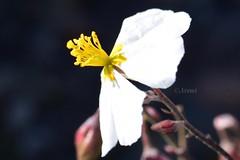 Empujada por el aire (rosaadda) Tags: macrofotografía macro nikon 5300 flowers flor flores naturaleza nature fantasticnature