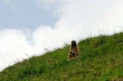 20180714-056F (m-klueber.de) Tags: 20180714056f 20180714 2018 mkbildkatalog österreich austria tirol lechtal allgäuer alpen nördliche kalkalpen schafherde schaf schafe europäische mitteleuropäische alpine fauna alpenfauna marmota murmeltier