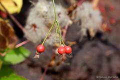 Früchtchen (Sockenhummel) Tags: britzergarten hagebutten herbst winter früchte busch strauch macro closeup fuji xt10